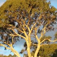 Gum tree