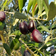 our ripe olives