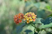 Lantana Camara - Yellow flowers have not been pollinated yet - hence different colours