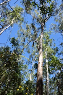 Gum tree Enoggera Reservoir